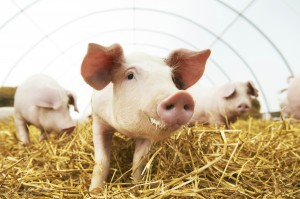 porcine tissues used for research