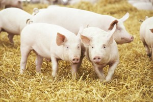 porcine tissue research pigs