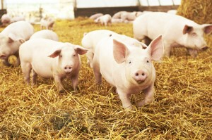 porcine organs for regenerative medicine research